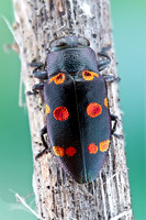 Metallic Wood Boring beetle - Chrysobothris chrysoela