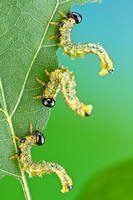 Willow Oak Sawfly - Arge quidia